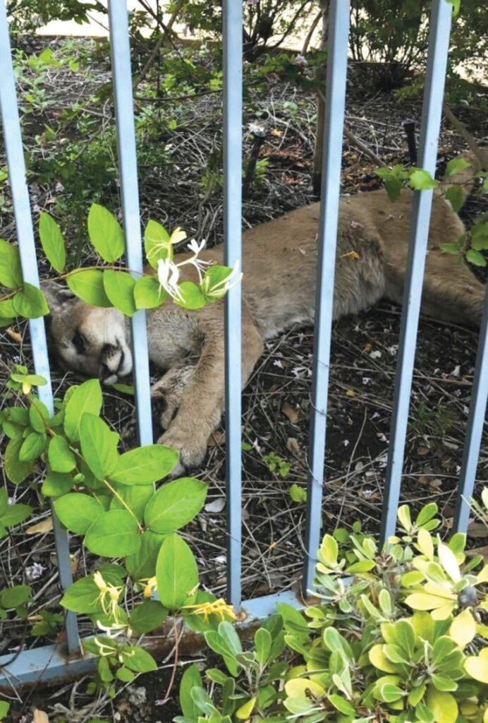 DOA—A Newbury Park resident found the body of a mountain lion next to a fence in his yard. The carcass is being examined for cause of death. Courtesy of Robert Wachbrit